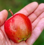 apple-in-hand