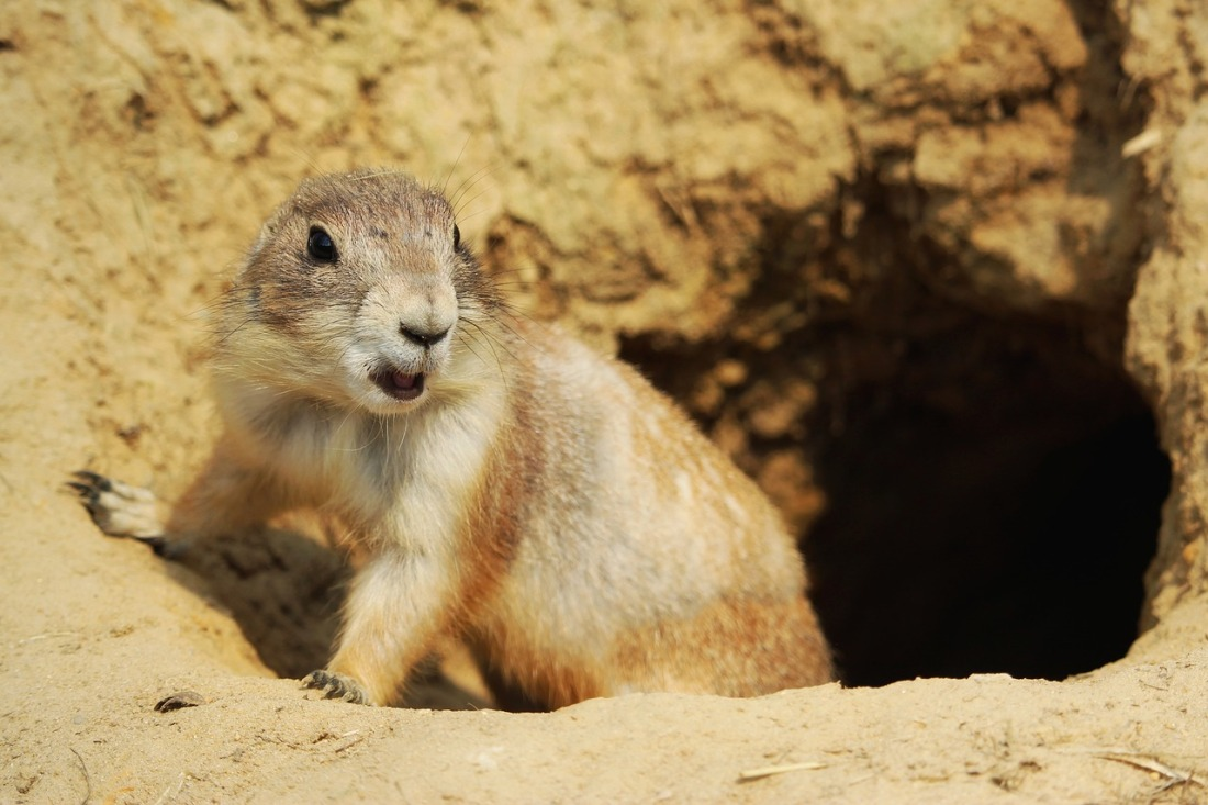black-tailed-prairie-dog-mouth-open