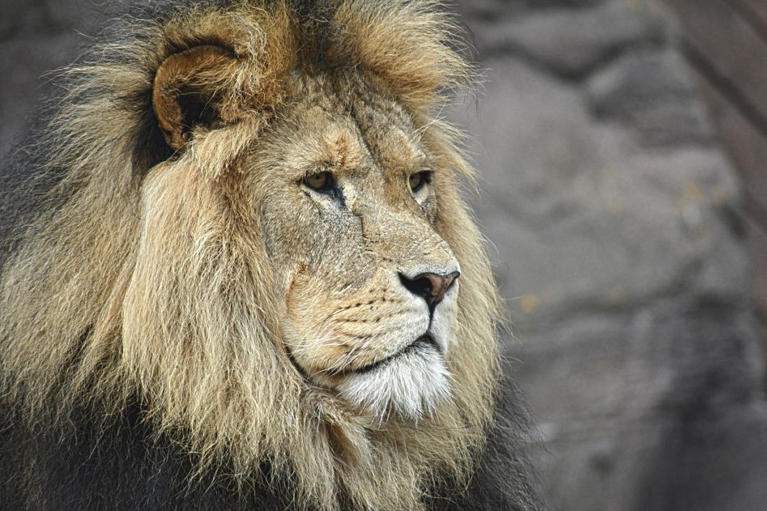lion-stoic-proud.jpg